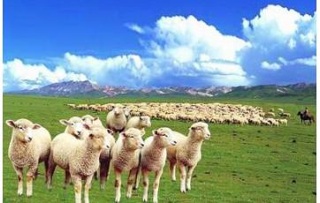 """宁夏""""盐池滩羊""""品牌价值68.9亿元"""