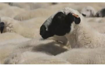"""揭秘""""名羊天下""""的苏尼特羊!"""